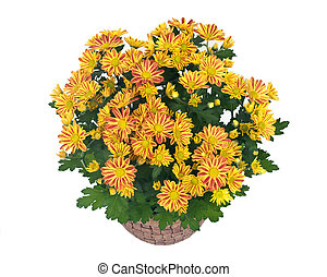 Fall mums flowers