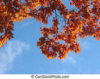 Fall oak branches and sky