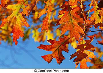 Fall oak leaves - Closeup of colorful fall oak leaves