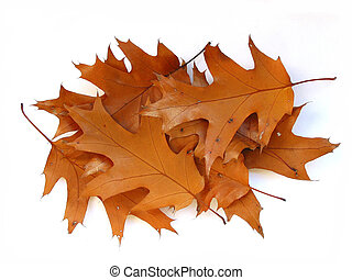 Fall oak leaves on white background