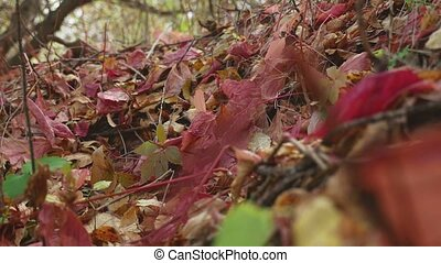 Fall on the earth are yellow red leaves in forest nature -...