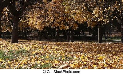 Fall park scenery with strong wind blowing leaves - Fall...