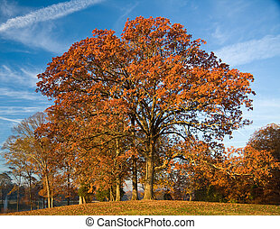 Fall Post Oak - Autumn Post Oak (Quercus stellata) with blue...