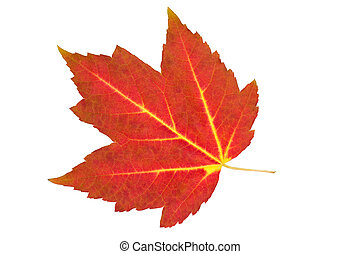 Autumn red maple leaf with yellow veins, isolated on white.