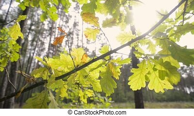 fall sun oak leafs - oak tree branch with backlit evening...