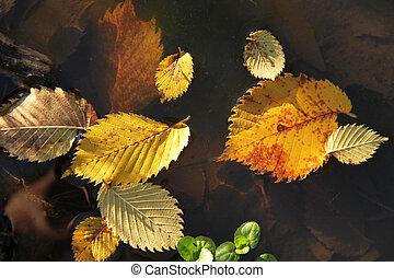 fallen alder leaves in the water