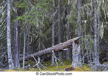 Fallen ancient evergreen tree in wild thick untouched forest