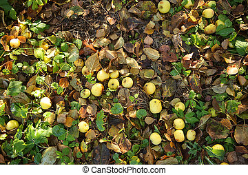 fallen apples on the ground