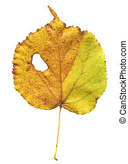 Fallen autumn leaf of linden tree isolated