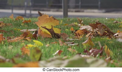 Fallen autumn leaves on a green lawn in the city