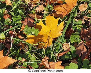 Fallen autumn maple leaf lies in the grass. Defoliation.