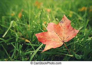 fallen autumn maple leaf on green grass