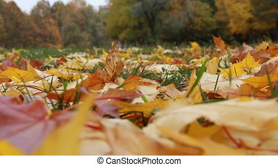Fallen autumn maple leaves