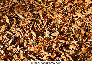Fallen Beech Leaves Tightly Covering the Ground in Fall