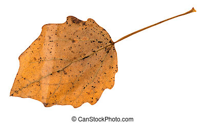 fallen brown leaf of aspen tree isolated