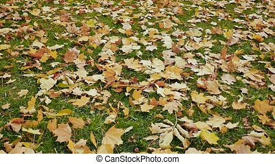 Fallen colored leaves lie on the green grass. A panorama of autumn under your feet in the park. Shooting in motion with electronic stabilization.