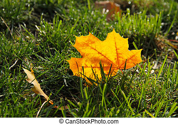 maple leaves in the grass