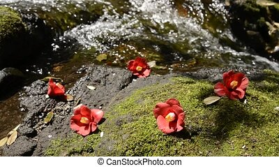 Fallen common camellia flowers on a mossy rock in front of...