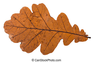 fallen dried leaf of oak tree isolated on white