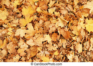 fallen dry autumn maple leaves fall background