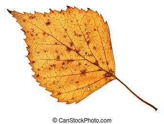 fallen holey yellow leaf of birch tree isolated