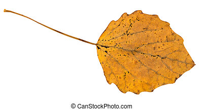 fallen leaf of aspen tree isolated on white