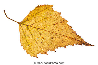 fallen leaf of birch tree isolated on white