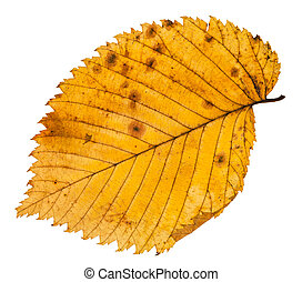 fallen leaf of elm tree isolated on whit