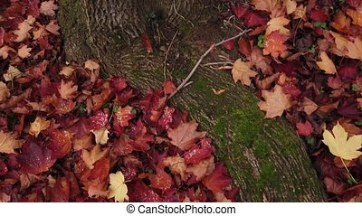 Red fallen leaves are lying about roots of maple, tracking shot.