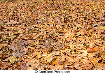 fallen leaves  - colorful fallen dried  leaves on the ground