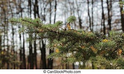 Fallen leaves lie on a spruce paw - Yellow fallen leaves lie...