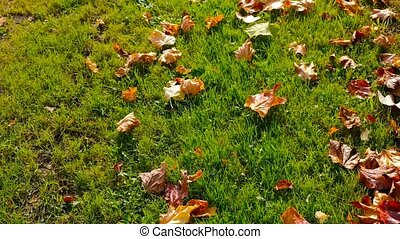 Fallen leaves on fresh green grass in the morning sun -...