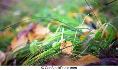 Fallen leaves on the bright green grass. Shallow depth of field