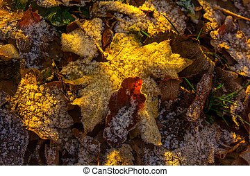 Fallen maple leaves and oak covered with the first frost