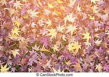 Fallen maple leaves background