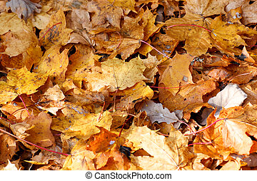Fallen Maple Leaves Covering the Ground in Fall.