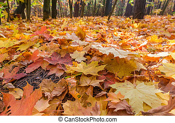 Fallen maple leaves in the autumn forest in selective focus