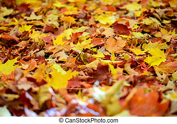 Fallen maple leaves in the forest