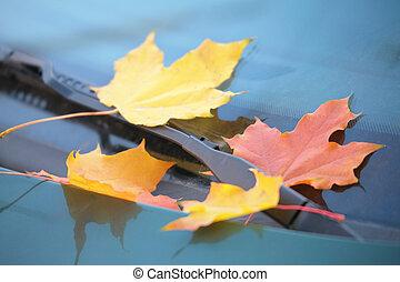 fallen maple leaves on car cowl