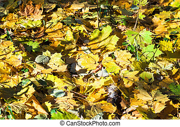 fallen maple leaves on dried birch trunk in autumn