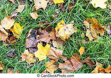 fallen maple leaves on green grass in autumn
