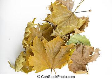 Fallen maple leaves on white background