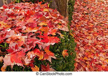Fallen Maple Tree Leaves on Garden Shrubs