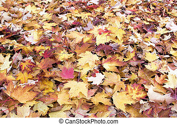 Fallen Maple Tree Leaves with Morning Dew Background