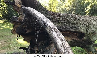 Fallen mighty oak in eastern Poland - Fallen mighty oak in...