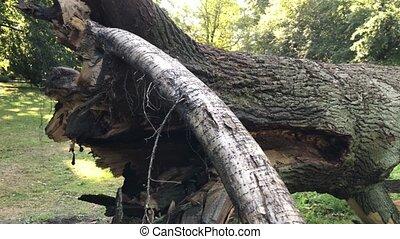 Fallen mighty oak in eastern Poland - Fallen mighty oak in...