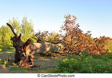 Fallen old oak tree.