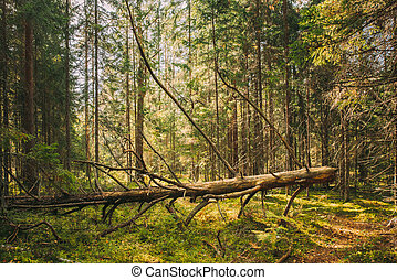 Fallen Old Tree In Coniferous Forest After Strong Hurricane Wind. European Green Coniferous Forest