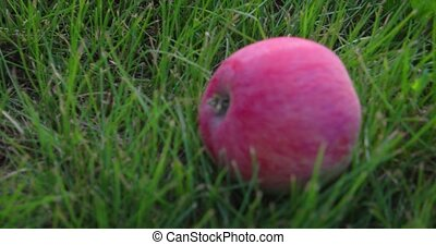 Single, red, organic apple, fallen into the green grass on a private, rural orchard. 4k DCI footage
