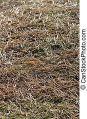 Fallen pine needles